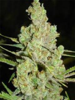 jamaican cannabis seeds