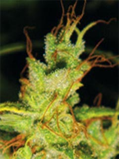 cannabis cup winning seeds